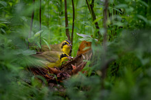 A Pair Of Kentucky Warblers Feed Their Chicks At The Nest On The Ground Surrounded By Green Foliage.
