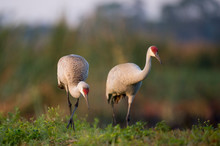 A Pair Of Sandhill Cranes Stan...