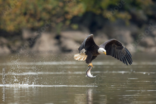 Photo An adult Bald Eagle flies with a large fish in its talons and a big splash from grabbing it in soft overcast light