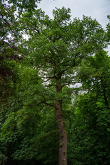 Big oak in the forest