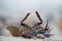 A Dead Horseshoe Crab Lays Ups...