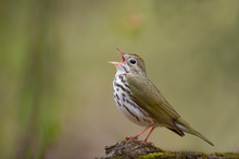 A Close-up Ovenbird Perched On A Log In Soft Overcast Light As It Sings Loudly In Front Of A Smooth Green Background.