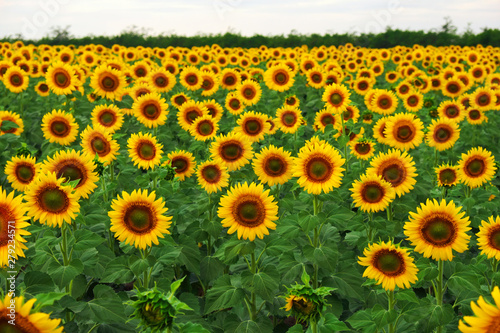 In de dag Zonnebloem Sunflower field in summer. Beautifull background