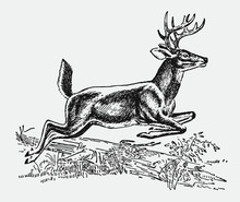 Male White-tailed Or Virginia Deer, Odocoileus Virginianus Jumping Over A Lying Tree Trunk. Illustration After An Antique Engraving From The Early 20th Century