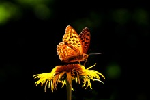 The Queen Of Spain Fritillary Butterfly (Issoria Lathonia)