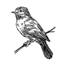 Little Bird On Branch. Sketch....