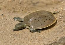 Hatchling Spiny Softshell Turtle (Apalone Spinifera) Floating Above  Sand Creek Bottom, Ledges State Park, Iowa...