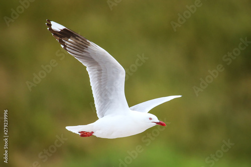 Photo  Red-billed gull in flight