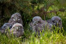 Little Owl Babies, 5 Weeks Old...
