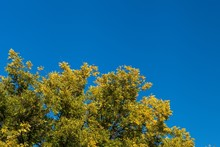 Autumn Leaves In Treetops With Blue Sky