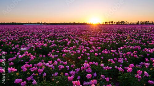 Fotografia Chinese herbaceous peony fields