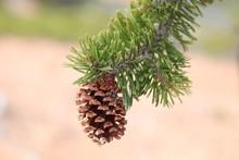 Intermountain Bristlecone Pine (Pinus Longaeva) Cone In Dixie National Forest, Utah
