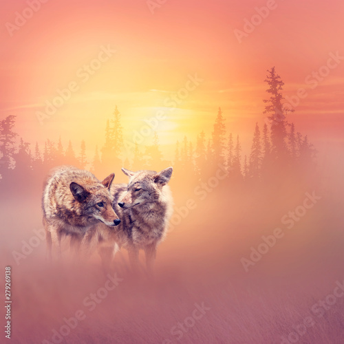 Fotografie, Tablou Two coyotes in the woods at sunset