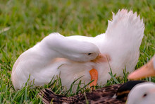 Close Up View Of A Duck With Yellow Beak Preening Its White Feathers