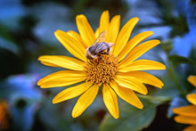 Bee On An Arnica Blossom
