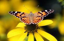 Vanessa Cardui Butterfly ( Echinacea Purpurea )