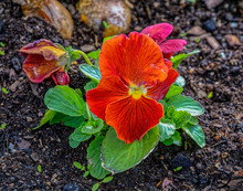 Beautiful Red Viola Tricolor Pansy Flowers, Also Known As Johnny Jump Up, Heartsease, Three Faces In A Hood, Growing On The Flowerbed At Sunny Spring Day.