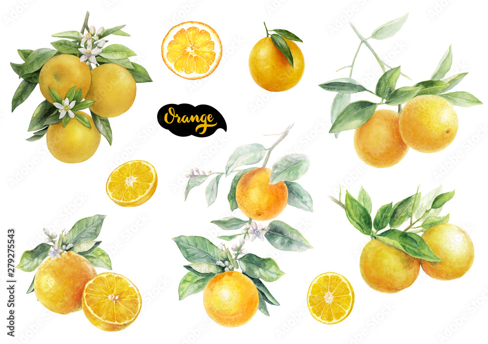 Fototapety, obrazy: Orange fruits watercolor set hand draw illustration.