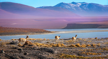 Scenic Landscape With Vicunas ...