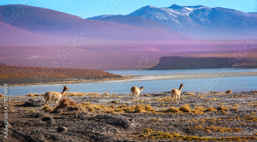 Cadres-photo bureau Lama Scenic landscape with vicunas grazing on the Bolivian altiplano on a background of magnificent volcanoes and lakes