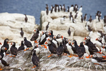A Group Of A Group Of Atlantic Puffins, A Puffin Colony On Sea Cliffs Off The Northumbrian Coast