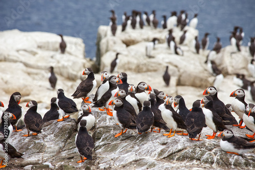 Fotografie, Obraz A group of A group of Atlantic puffins, a puffin colony on sea cliffs off the No