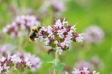 Blooming Thyme, Wasp Pollinates Lilac Flowers Of Thyme. Fragrant Herb Spice, Close-up Wallpaper Background