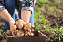 Senior Male Farmer With Gathered Potatoes In Field, Closeup