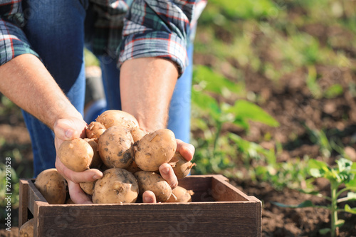 Fotografering Senior male farmer with gathered potatoes in field, closeup