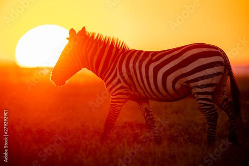 Acrylic Prints Zebra Zebra vor untergehender Sonne