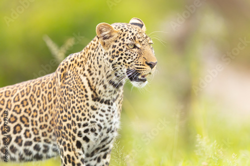 Poster Leopard Leopardenportrait stehend 2
