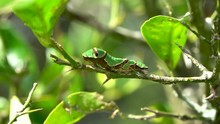 Green Caterpillar Sits Motionless On Twig Swaying In Breeze, Papilo Aegeus