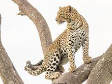 Junge Leopardin In Einer Akazi...