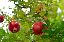 Ripe Pomegranate Fruit Is Growing In Mediterranean Garden. Tree Branch With Fresh Pomegranate