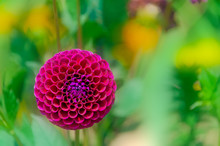 Closeup Of Blooming Ball Of Purple Fuchsia Dahlia In A Garden. Pompom Dahlias In Purple Fuchsia Color Taken With Shallow Depth Of Field.