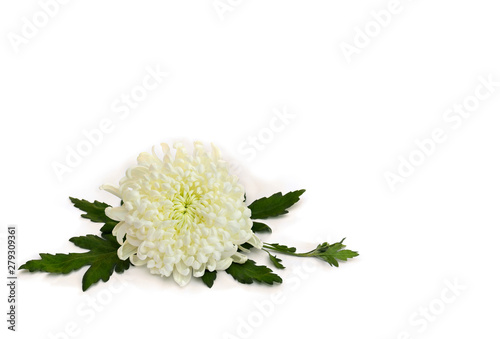 Wall Murals Hydrangea White flowers chrysanthemum morifolium on a white background with space for text