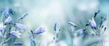 Fototapeta Kwiaty - Lilac bellflowers on a blurred blue background