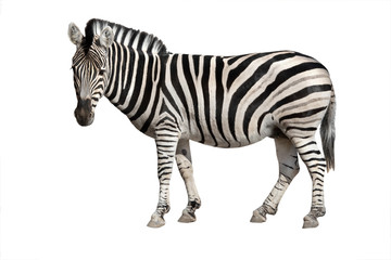 Fototapeta Zebry zebra isolated on white
