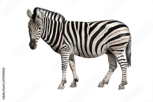 Fototapeta zebra isolated on white obraz