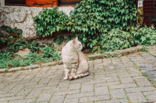 Grey Cat Is Sitting On Paving Road Sidewalk And Looking On People.