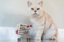 Scottish Fold Cat With Shopping Cart Of 10000 JYP