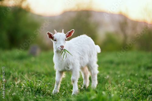 goat on a meadow Canvas Print