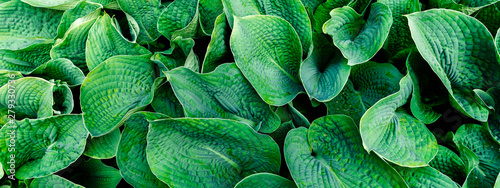 Green leaves pattern background, Natural background and wallpaper, banner