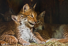 Lynx Mom  Plays With A Cute Li...
