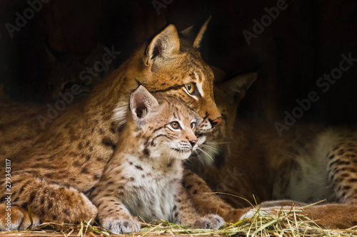 Spoed Foto op Canvas Lynx lynx mom plays with a cute little lynx kitten, kind and lovely.