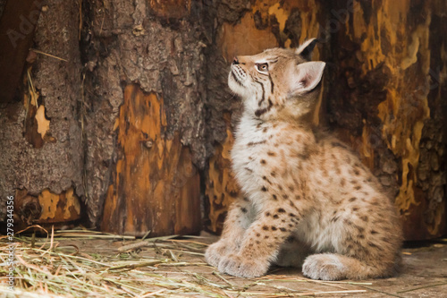 Fotografia vigorous little lynx kitten looks boldly and prepares to jump.