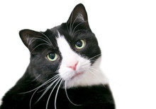 A Black And White Domestic Shorthair Tuxedo Cat Looking At The Camera