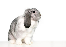 A Cute Gray And White Lop Eare...