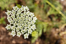 White Flower Of Toothpick Plant