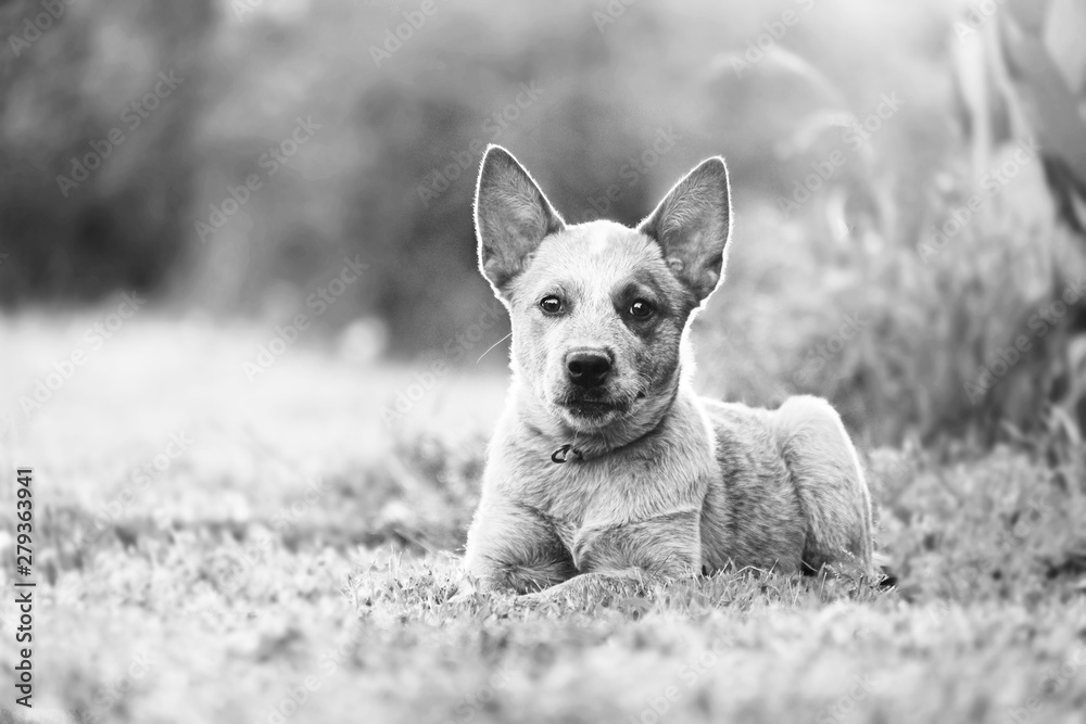 Fototapeta Heeler cattle dog puppy in outdoors landscape, black and white pet portrait.